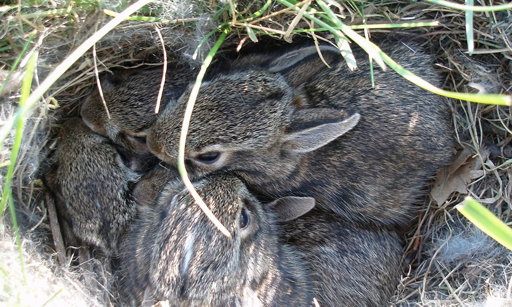 eastern-cottontails-in-nest