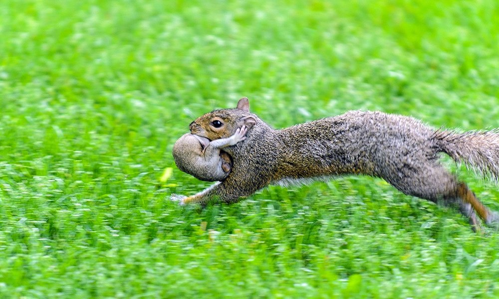 gray-squirrel-mother-runs-with-baby-niXerKG