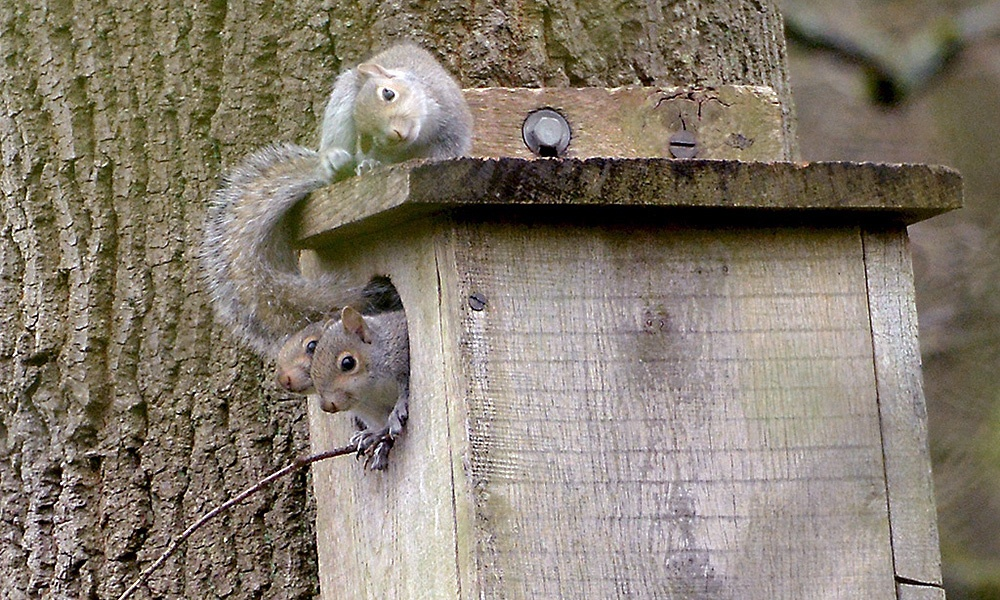 grey-squirrels-at-nest-box-KentishPlumber