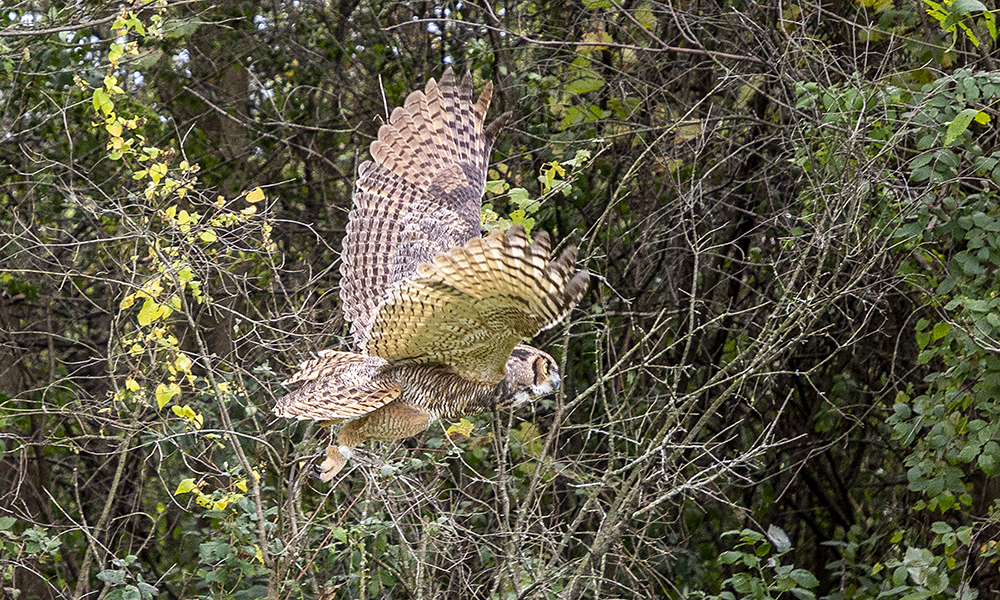 owl-release-KCF