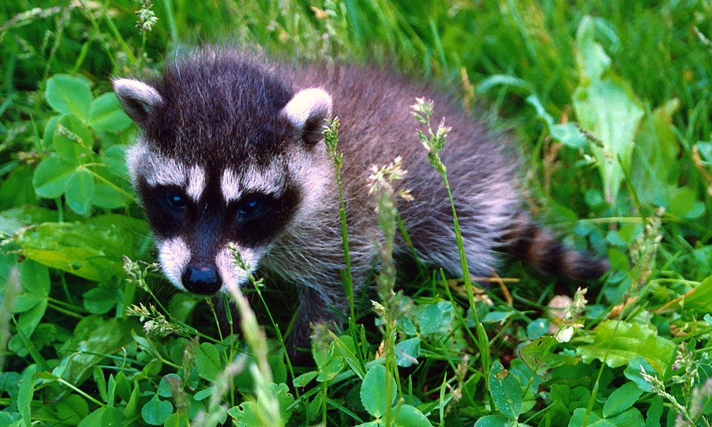 raccoon-juvenile