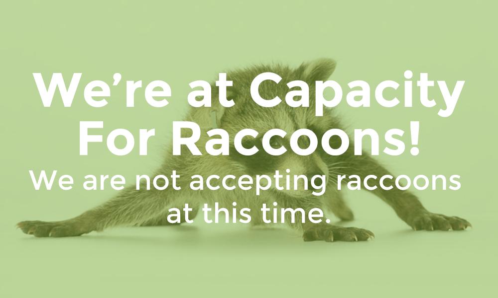 raccoons-at-capacity