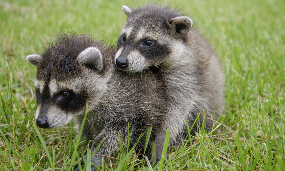 two-raccoons