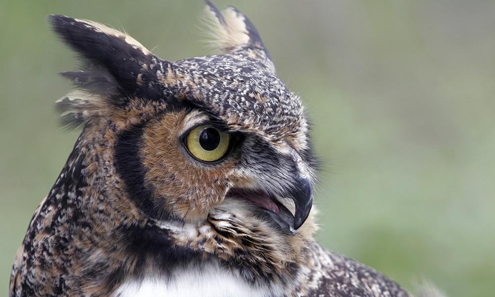 willowbrook-great-horned-owl-tonka