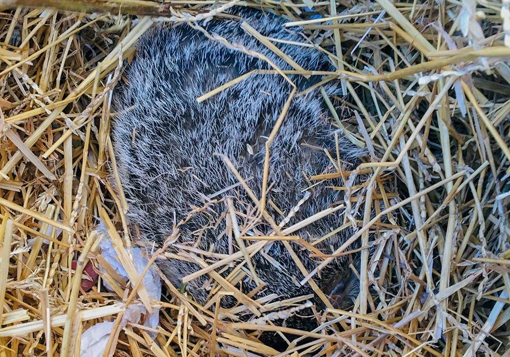 woodchuck-hibernating