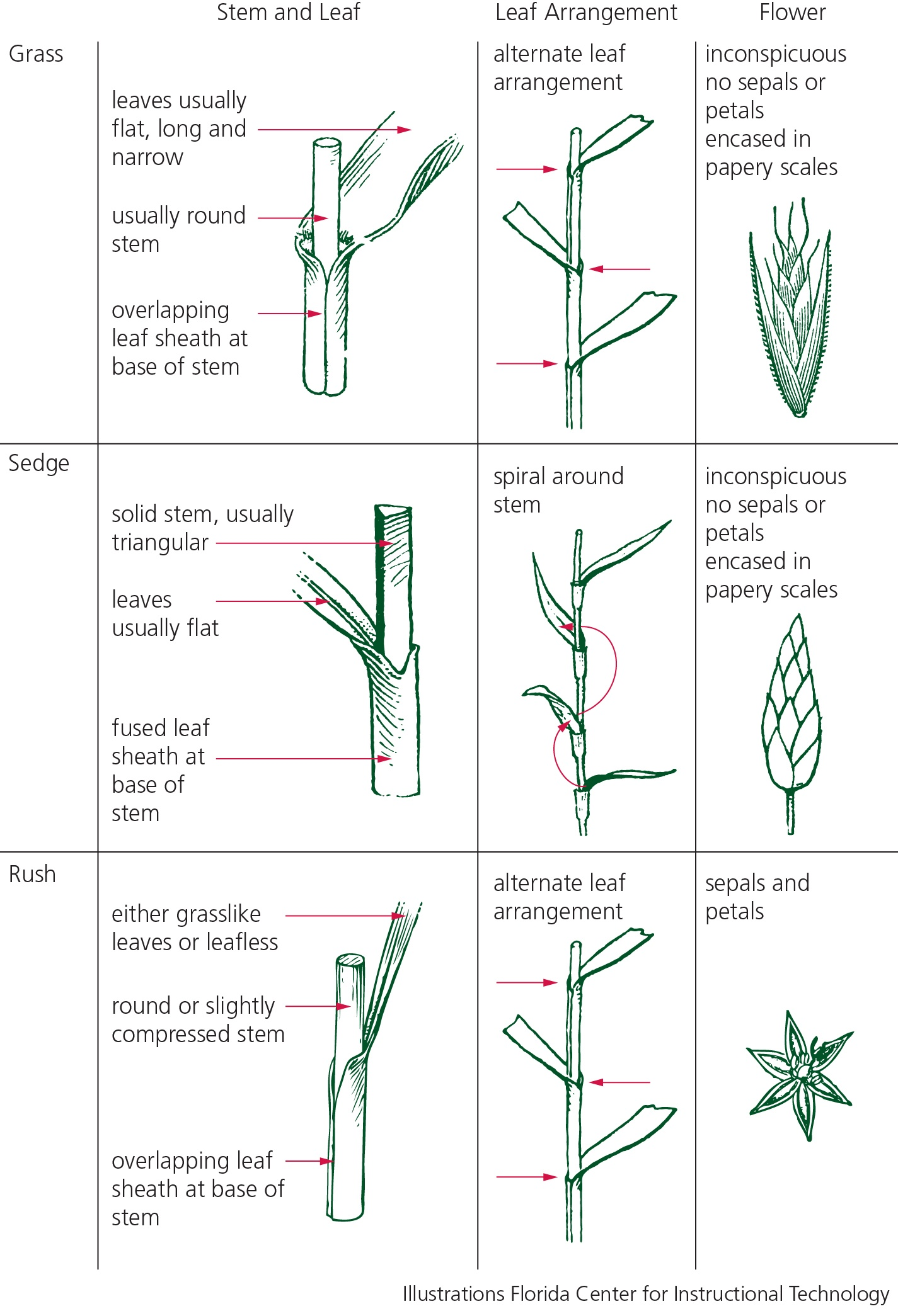 illustrations showing differences between grasses, sedges and edges