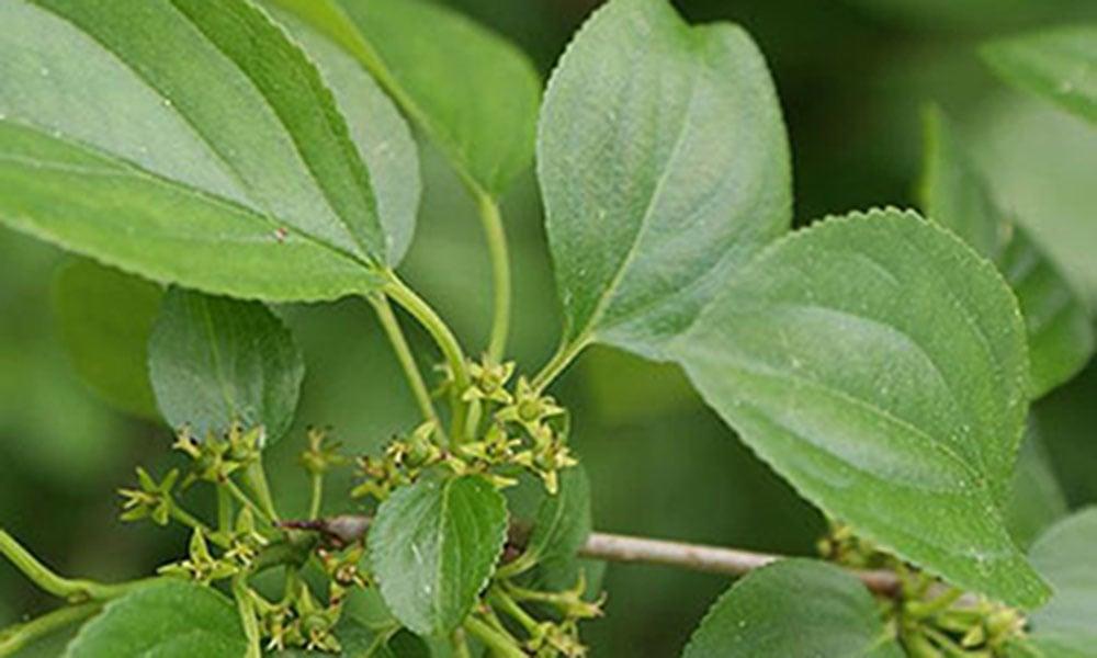 Buckthorn-invasive-1000x600