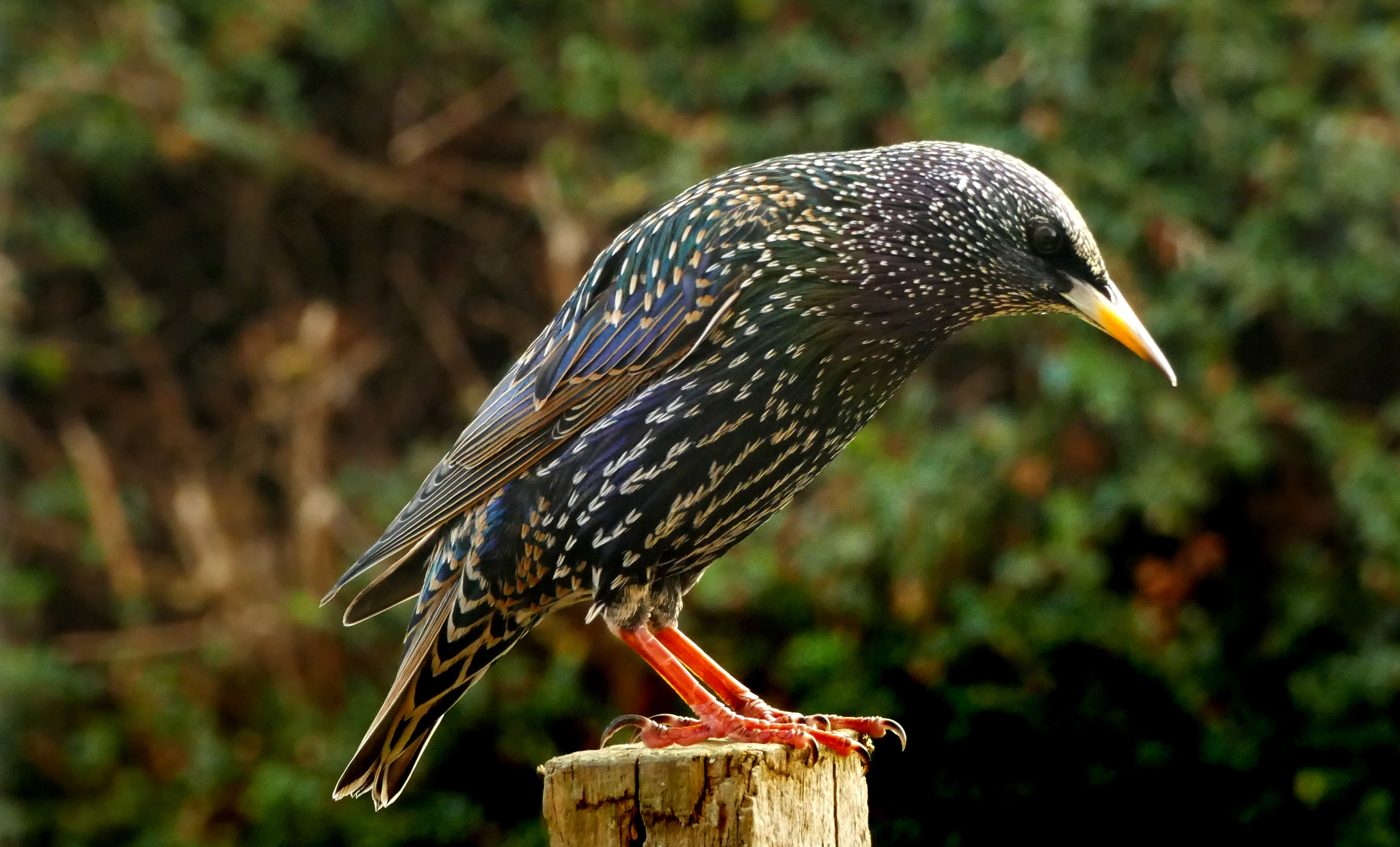 European-starling