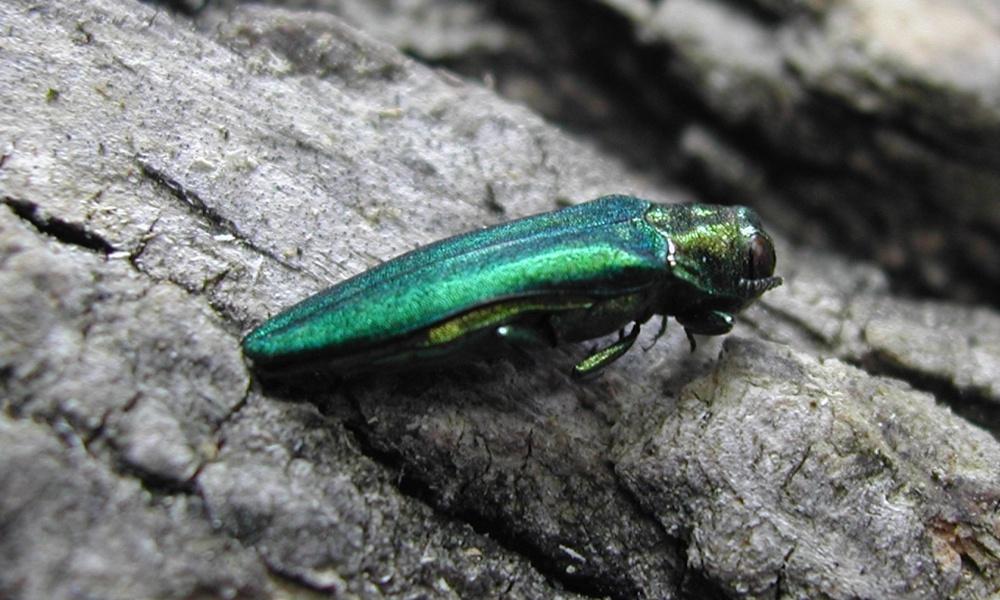 emerald-ash-borer-PADCNRBugwoodorg