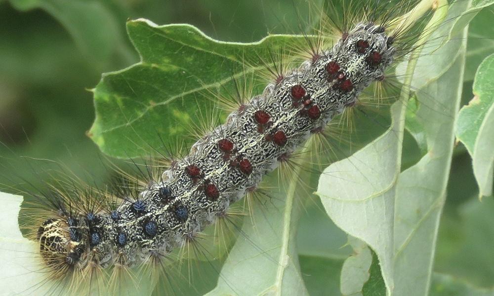 gypsy-moth-caterpillar-LiamOBrien