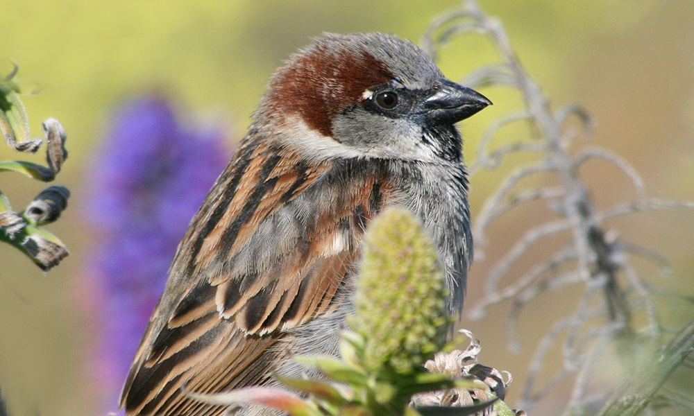 house-sparrow-VickiRogers