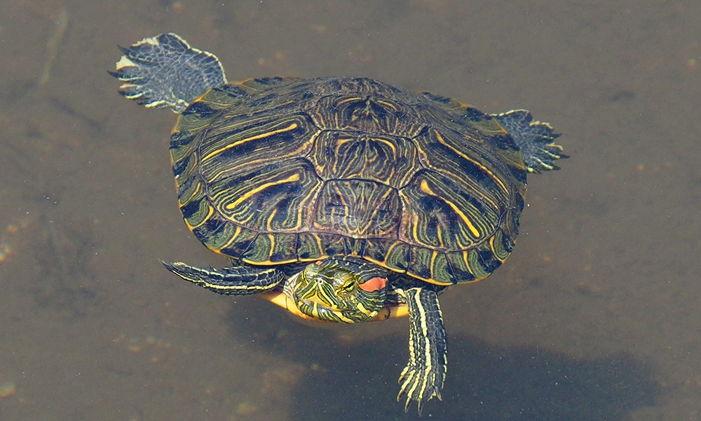 red-eared-slider-GregPeterson