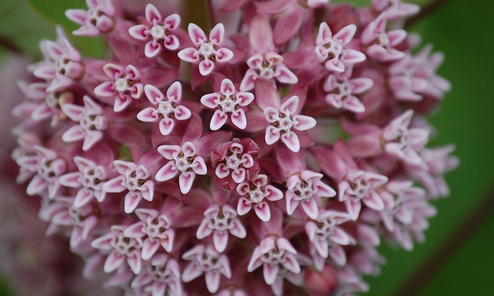 milkweed-Asclepias-L-GlennPerricone