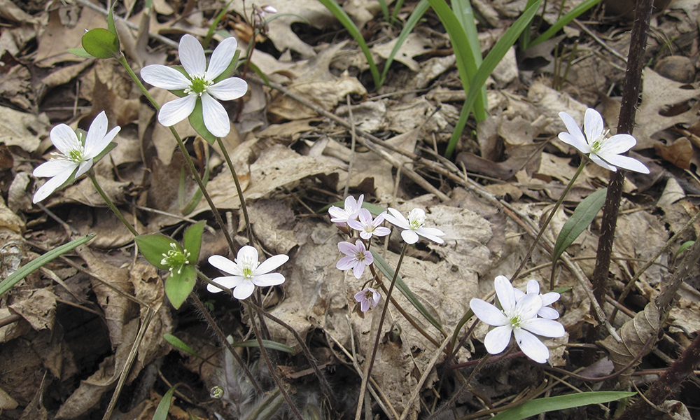 sharp-lobed-hepatica-2