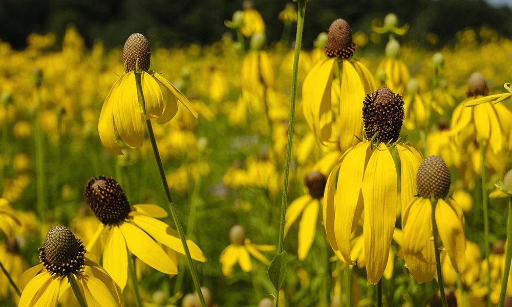 yellow-headed-coneflower