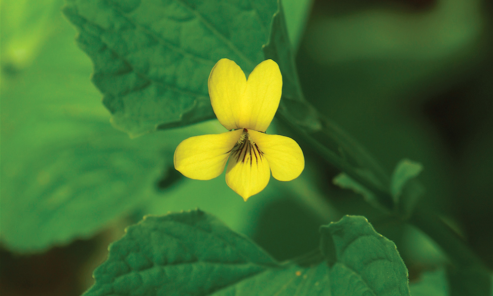 yellow-violet-c-Dan-Mullen