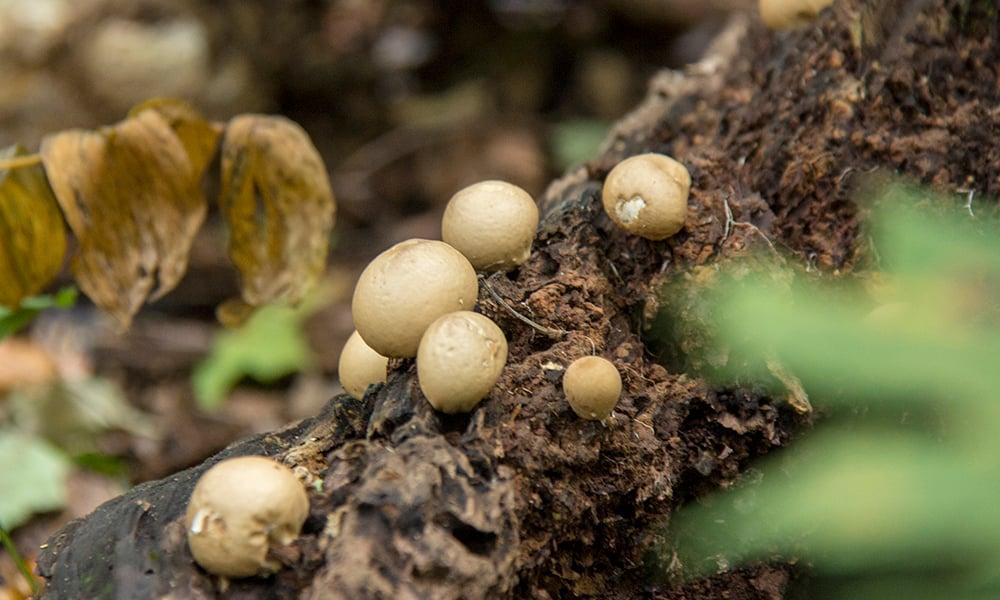 Maple-Grove-mushrooms-2-1000x600