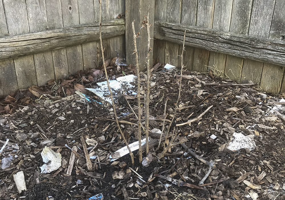 New-shrub-after-planting