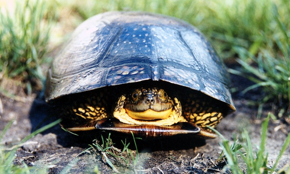 blandings-turtle-adult-drawn-into-shell