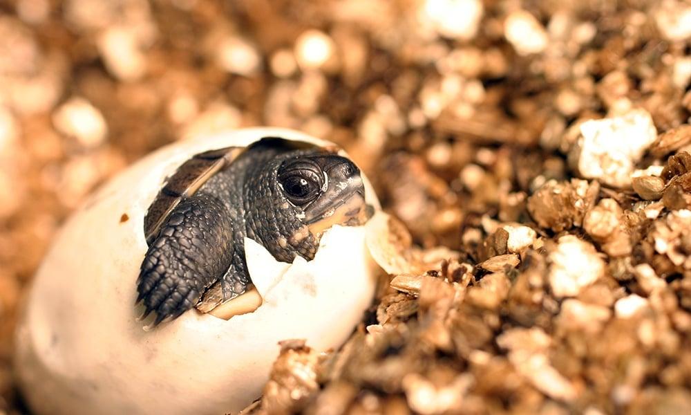 blandings-turtle-hatchling