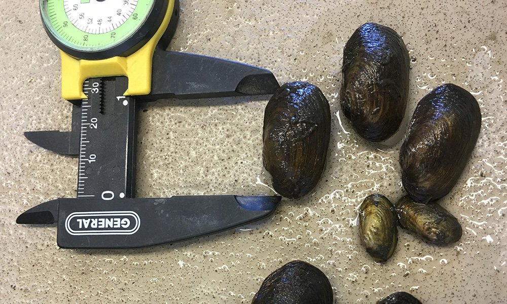 measuring-mussels