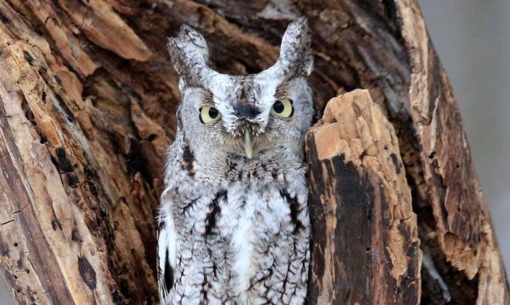 eastern-screech-owl-MisterMauro.jpg