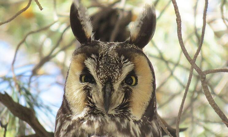 long-eared-owl-omiseroy.jpg