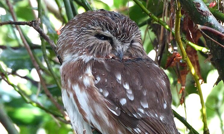 nothern-saw-whet-owl-MichaelKlotz.jpg