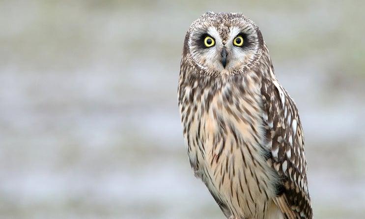 short-eared-owl-MinetteLayne.jpg