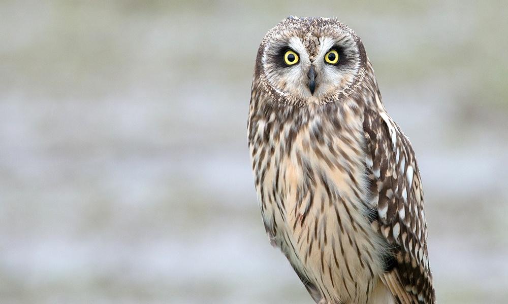 short-eared-owl-MinetteLayne