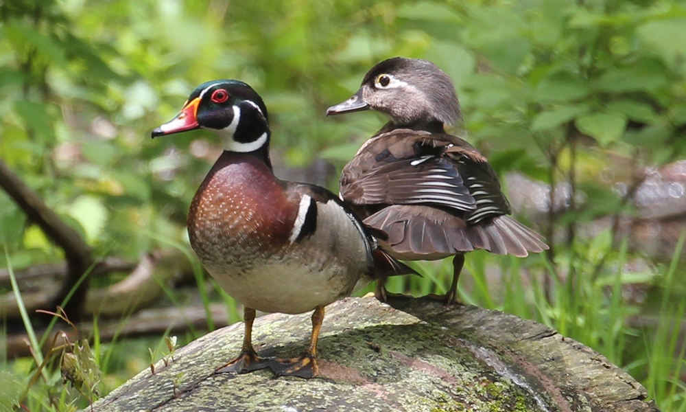 Wood-Duck-Bolland-Copyright