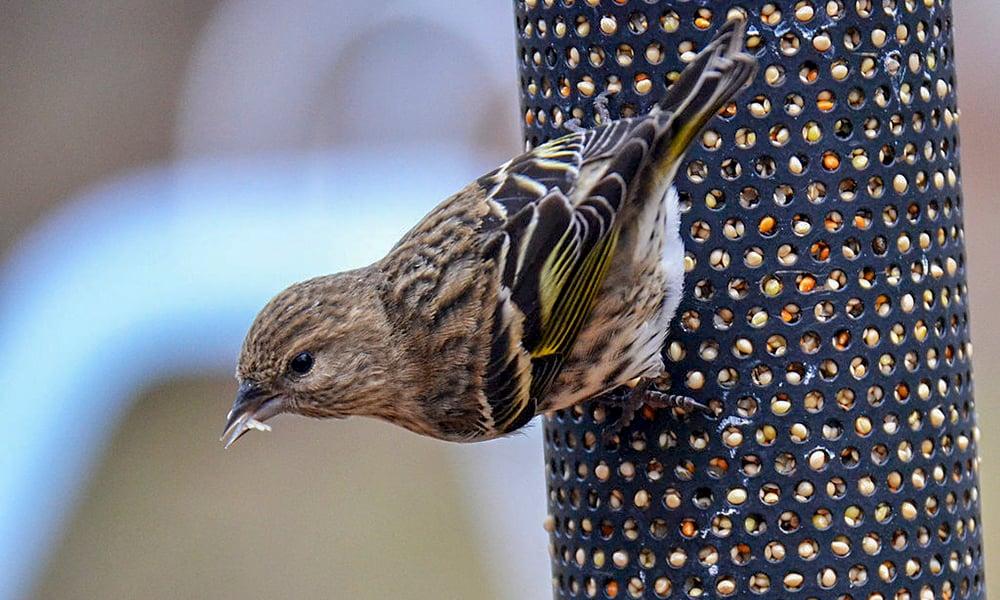 Pine-Siskin-feeder