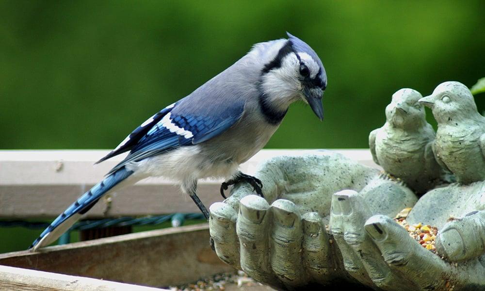 blue-jay-feeder
