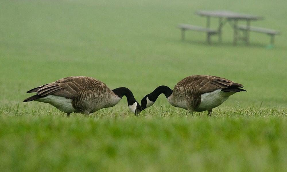 canada-geese-blackwell