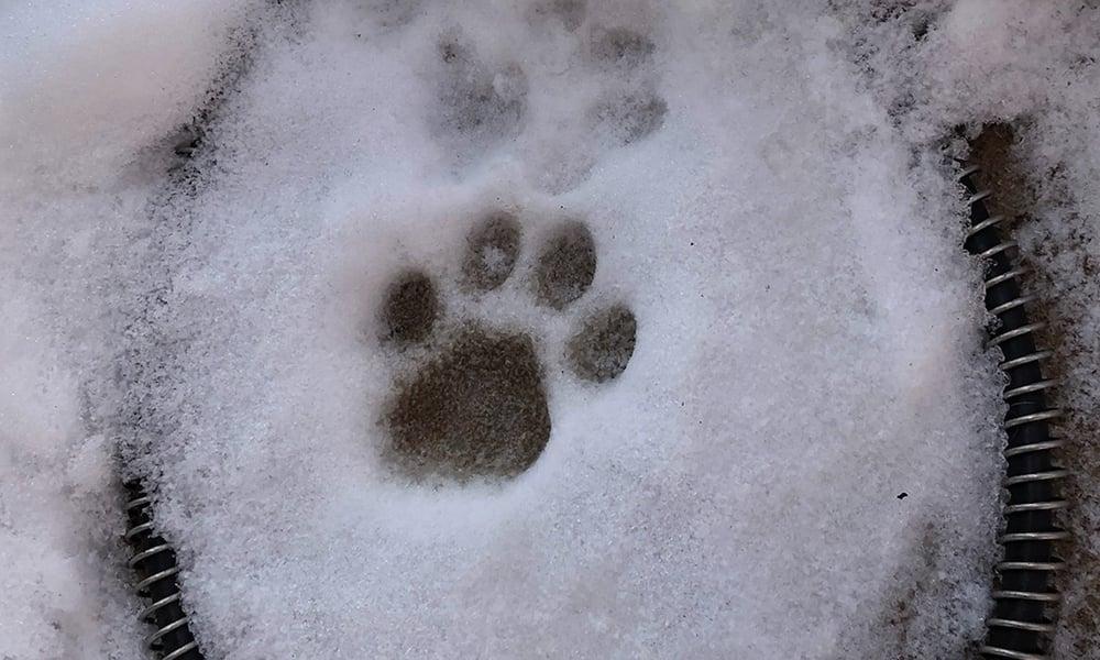 Bobcat-footprint