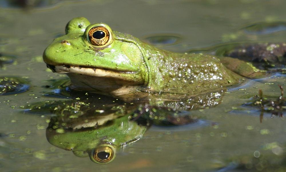 American-bullfrog