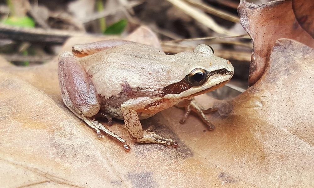 western-chorus-frog-AndrewDuBois
