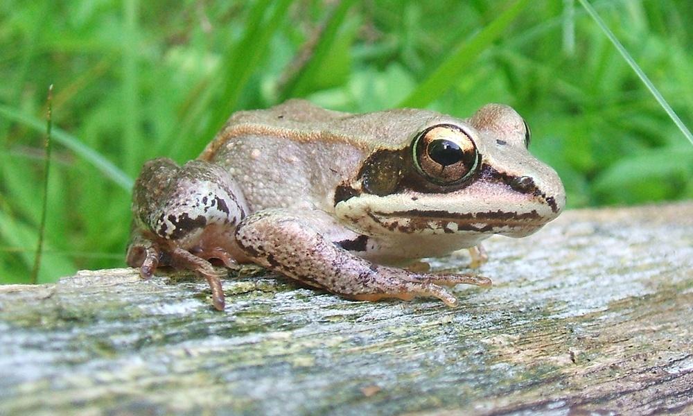 wood-frog-BradCarlson