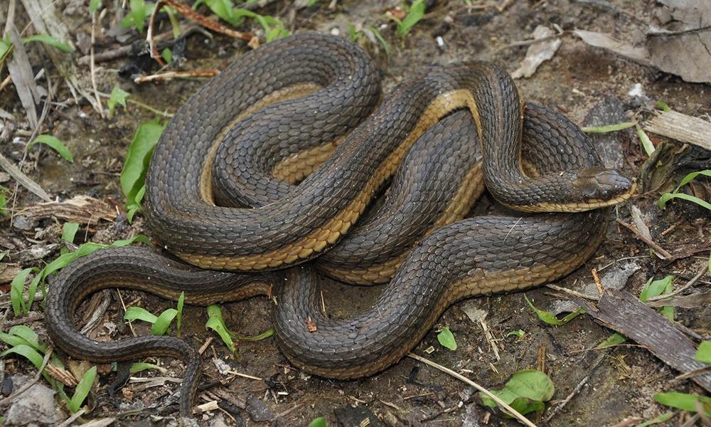 Grahams-crawfish-snake-JohnWilliams