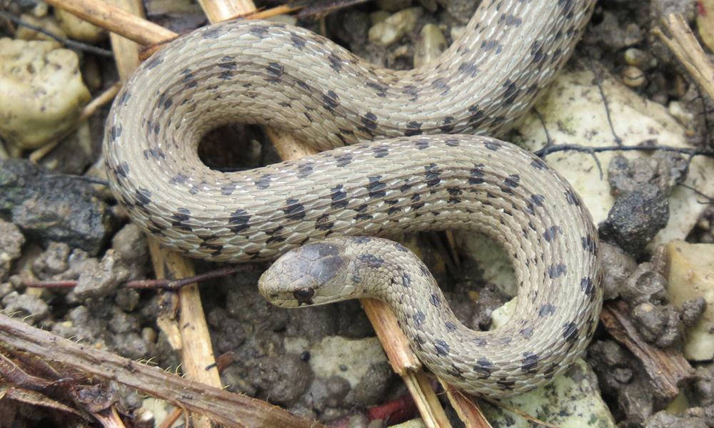 midland-brown-snake-JeffSkrentny