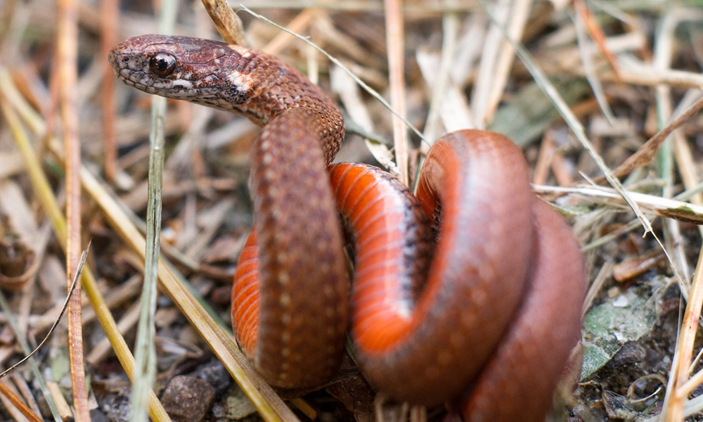 northern-red-bellied-snake-FynKynd