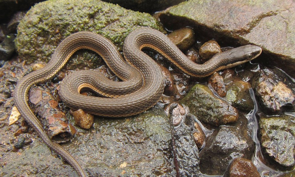 queen-snake-MattTillett
