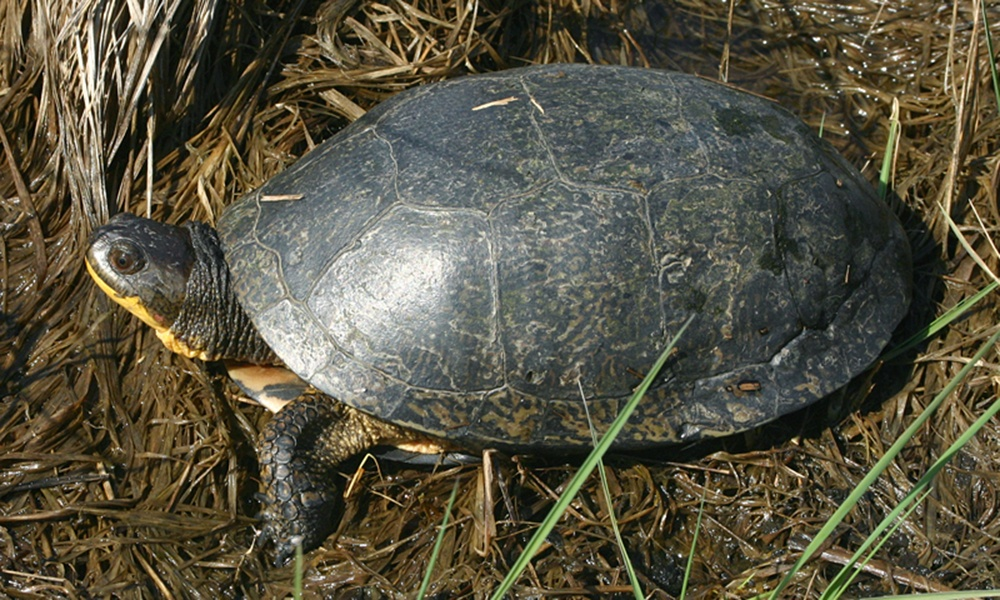 Blanding's-turtle-ToddPierson
