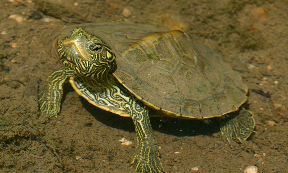 common-map-turtle-ToddPierson