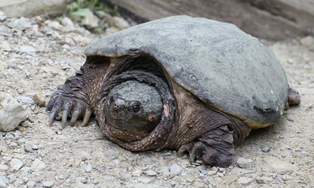 common-snapping-turtle