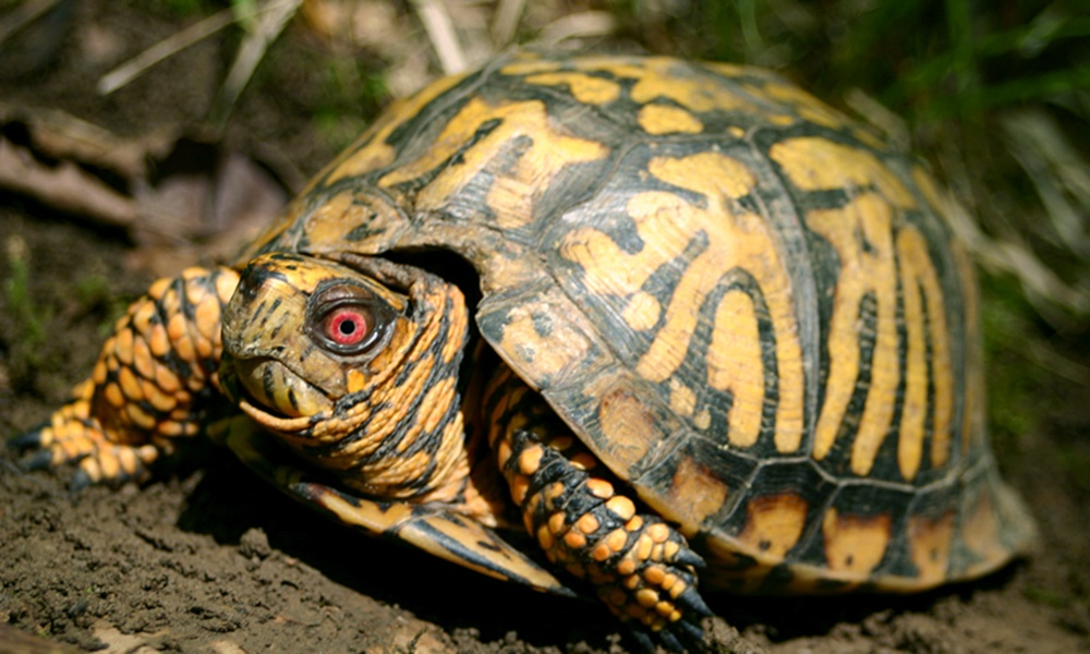 eastern-box-turtle-ToddPierson