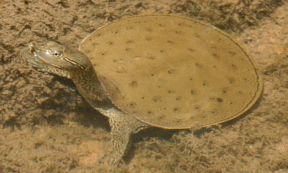 eastern-spiny-softshell-turtle-ToddPierson