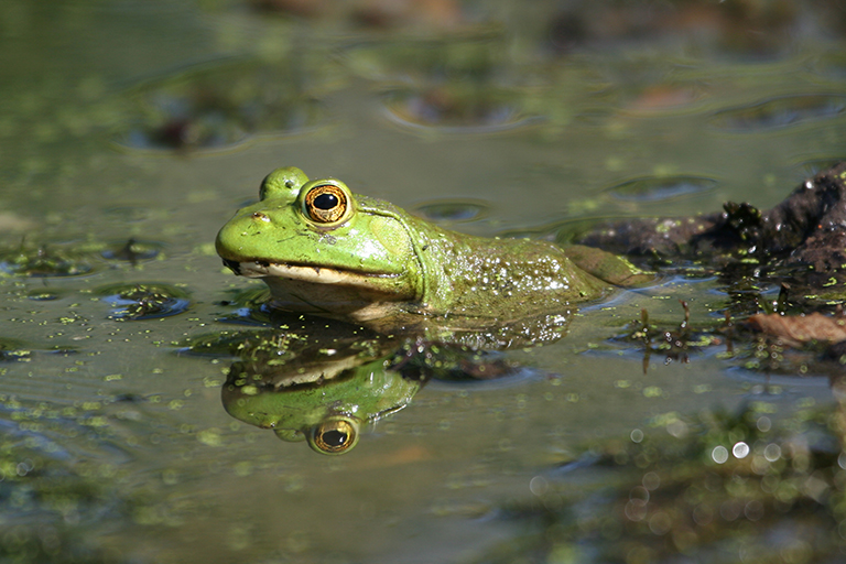 bullfrog-feature