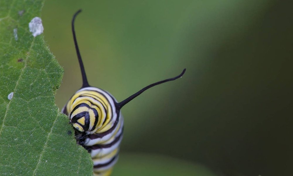 monarch-caterpillar