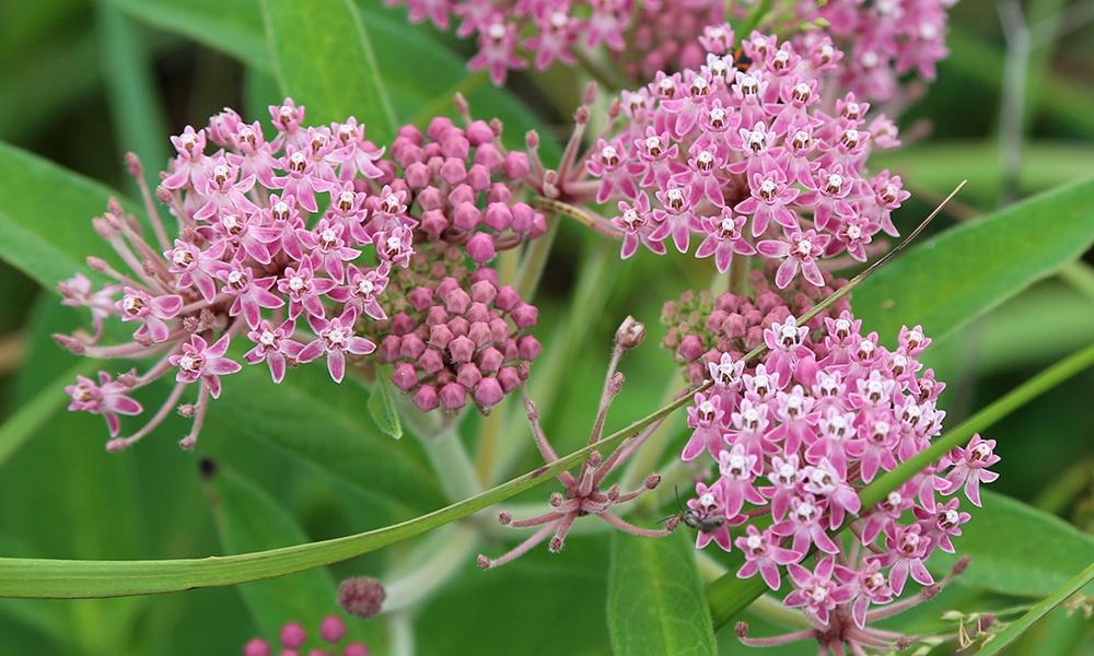 swamp-milkweed-UliLorimer